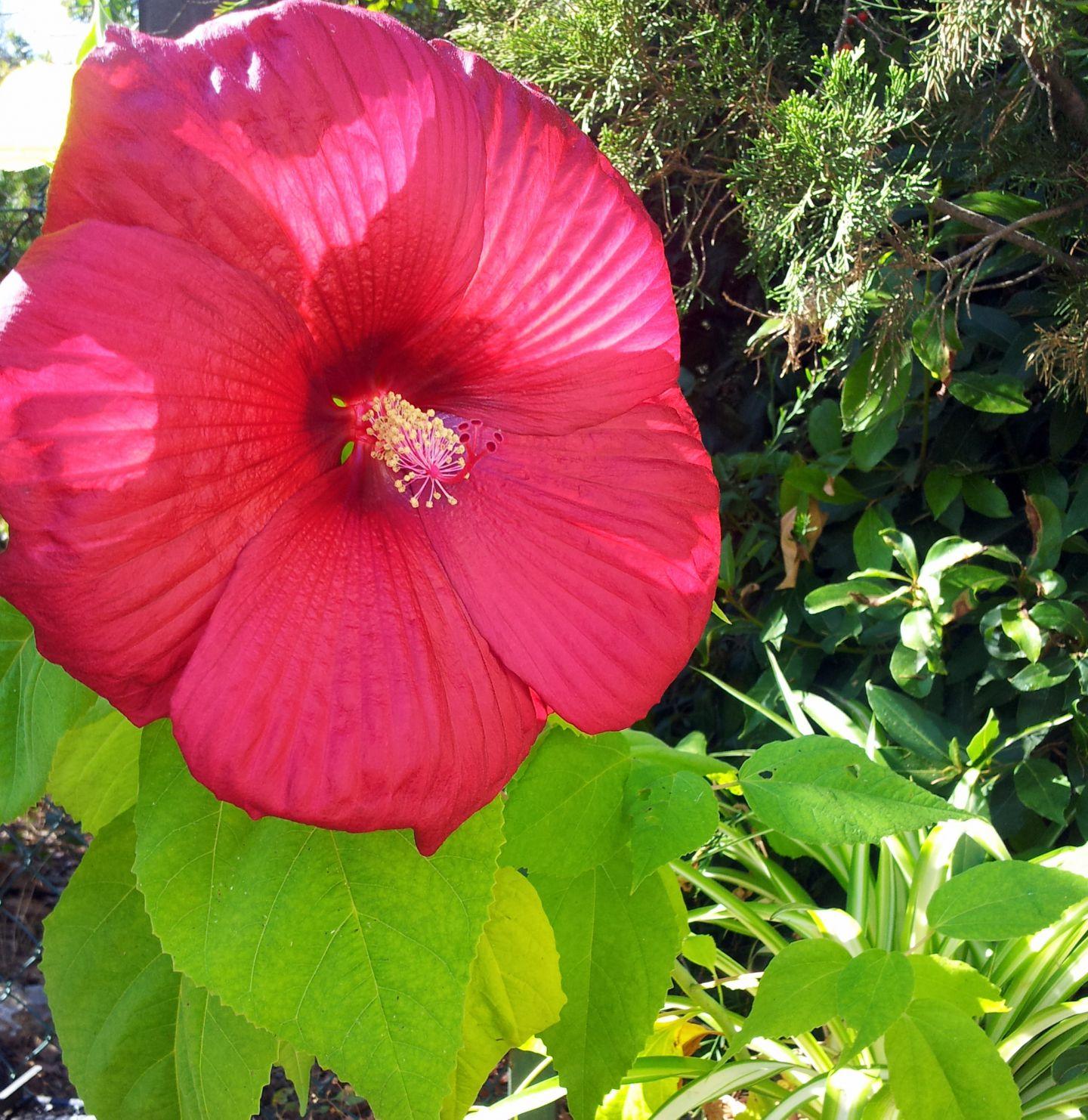 Quand les fleurs des hibiscus des marais s 39 ouvrent for Quand tailler les hibiscus de jardin