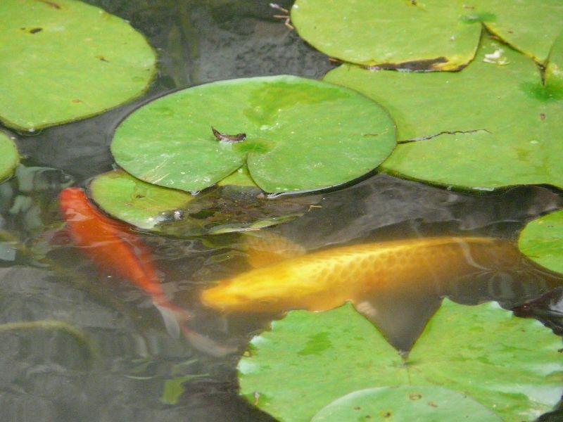 Ko et poisson rouge bassin du bas comment cr er son for Creer bassin poisson