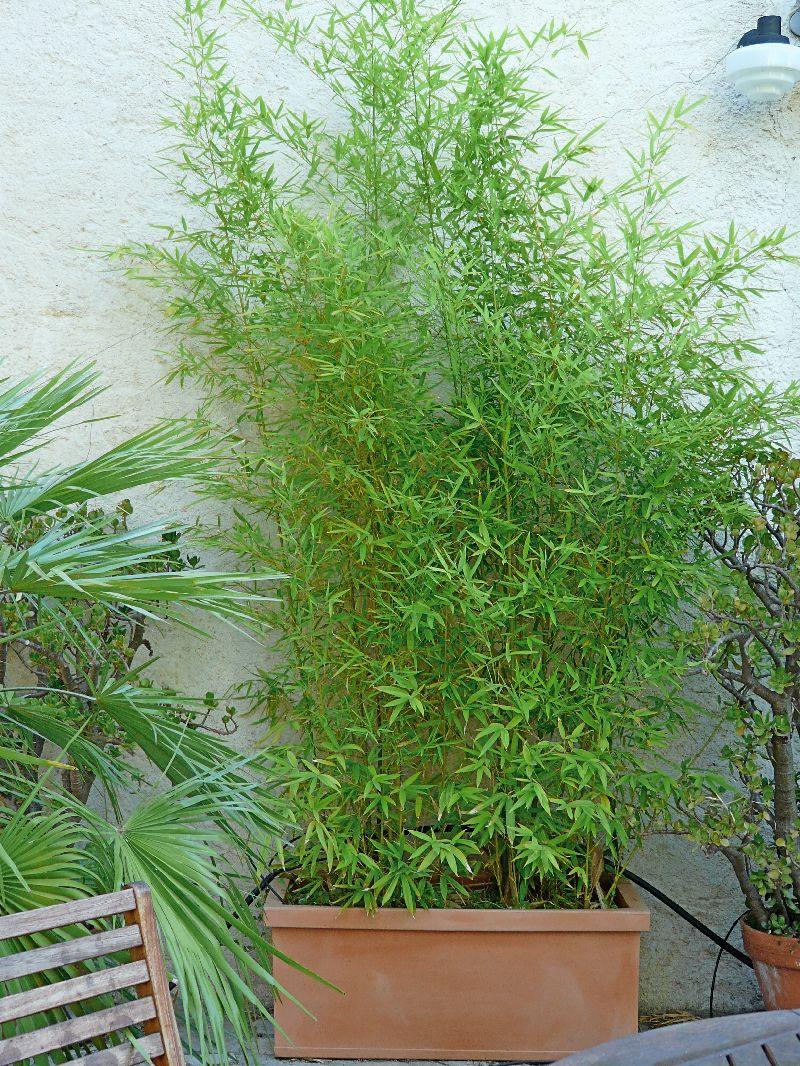 bambous en jardini res comment cr er son jardin m diterran en. Black Bedroom Furniture Sets. Home Design Ideas