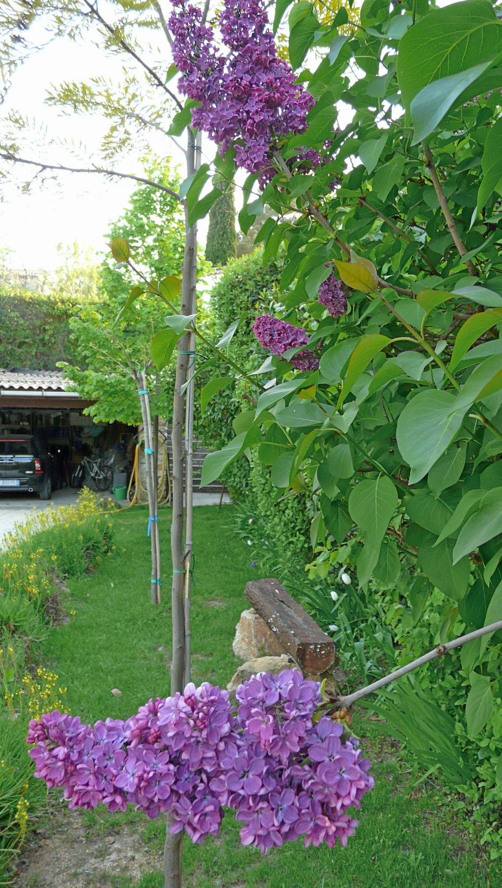 Quand le mauve des lilas compl te en hauteur le jaune et l 39 orange des bulbin as comment - Quand tailler les lilas ...