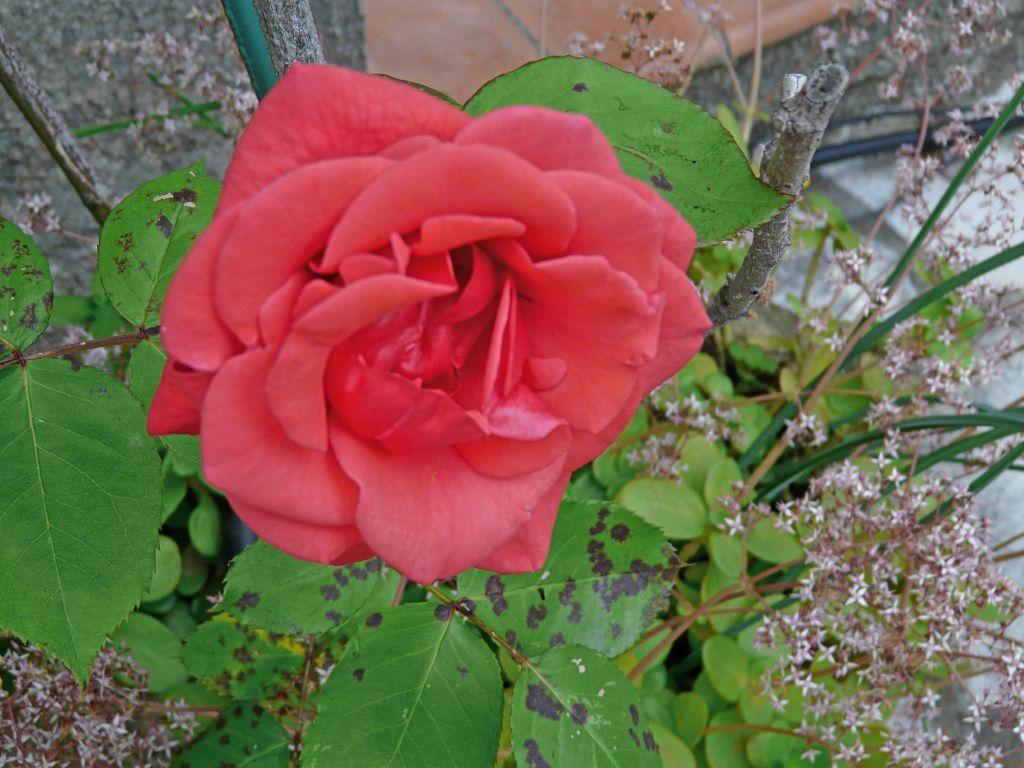 Rose rouge avec plante grasse au pied comment cr er son jardin m diterran en - Plante grasse rouge ...