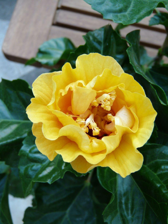 Ouverture d 39 un hibiscus comment cr er son jardin - Comment entretenir un hibiscus ...