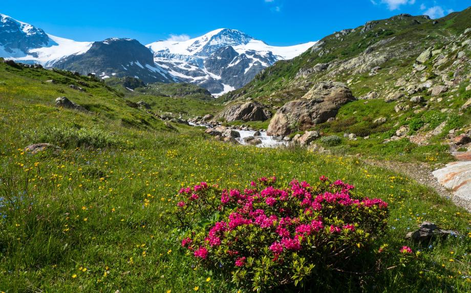 alpine-roses-5353700_1920