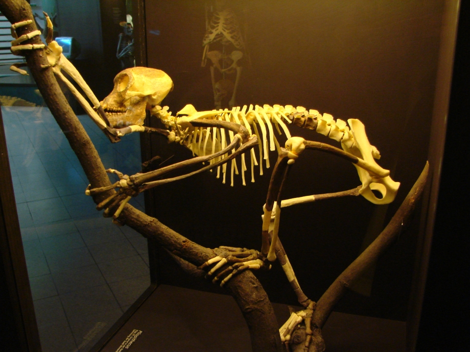 Proconsul_skeleton_reconstitution_(University_of_Zurich).JPG