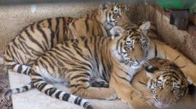 trafic-d-animaux-la-nouvelle-vie-des-jeunes-tigres-a-saint-martin-la-plaine-1499955320.jpg