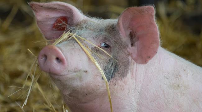 le-cochon-donneur-d-organes-du-futur.jpg
