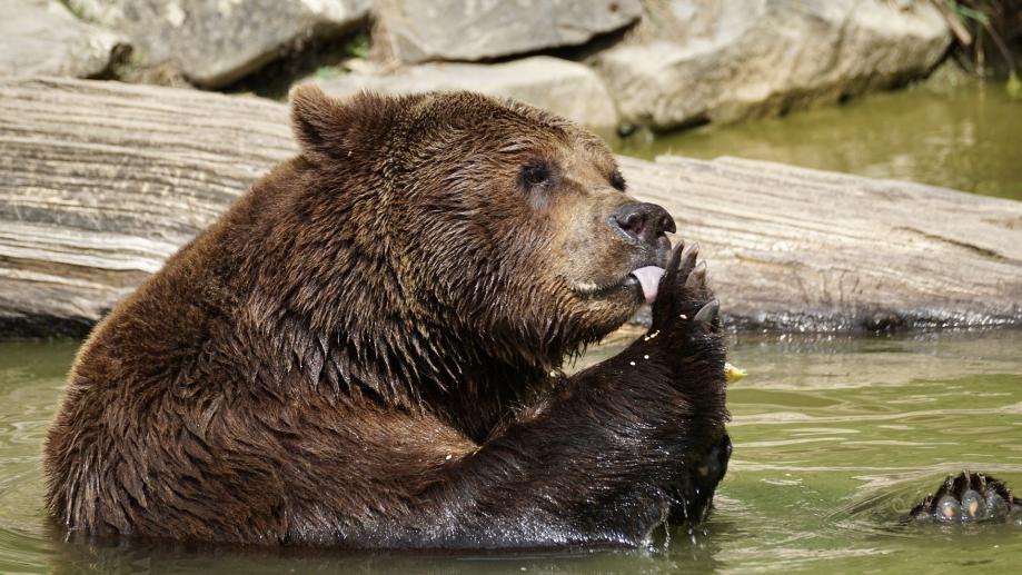 bear-2478148_1920