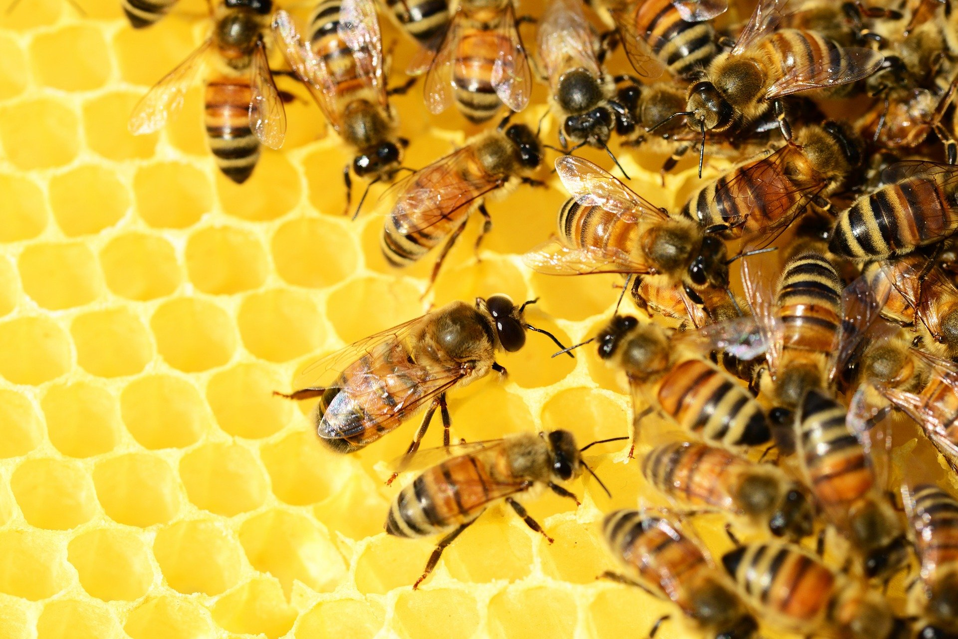 bees-326337_1920