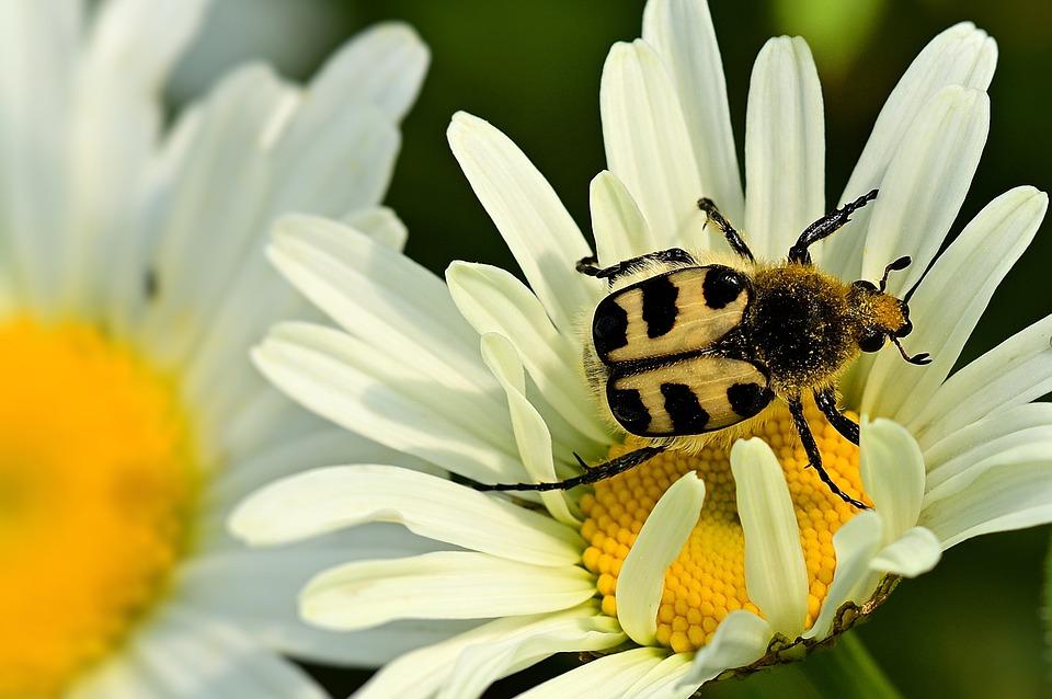 beetle-5322004_960_720