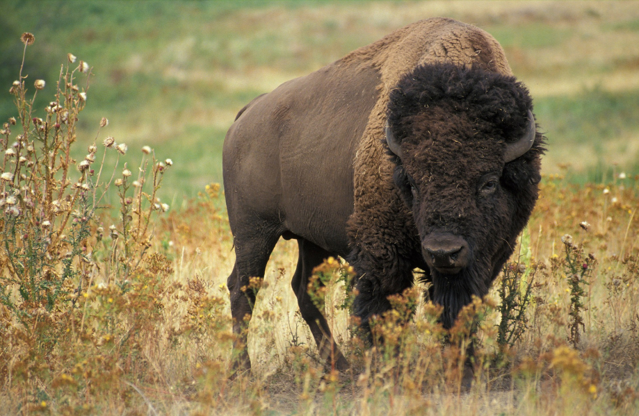 bison-60592_1920