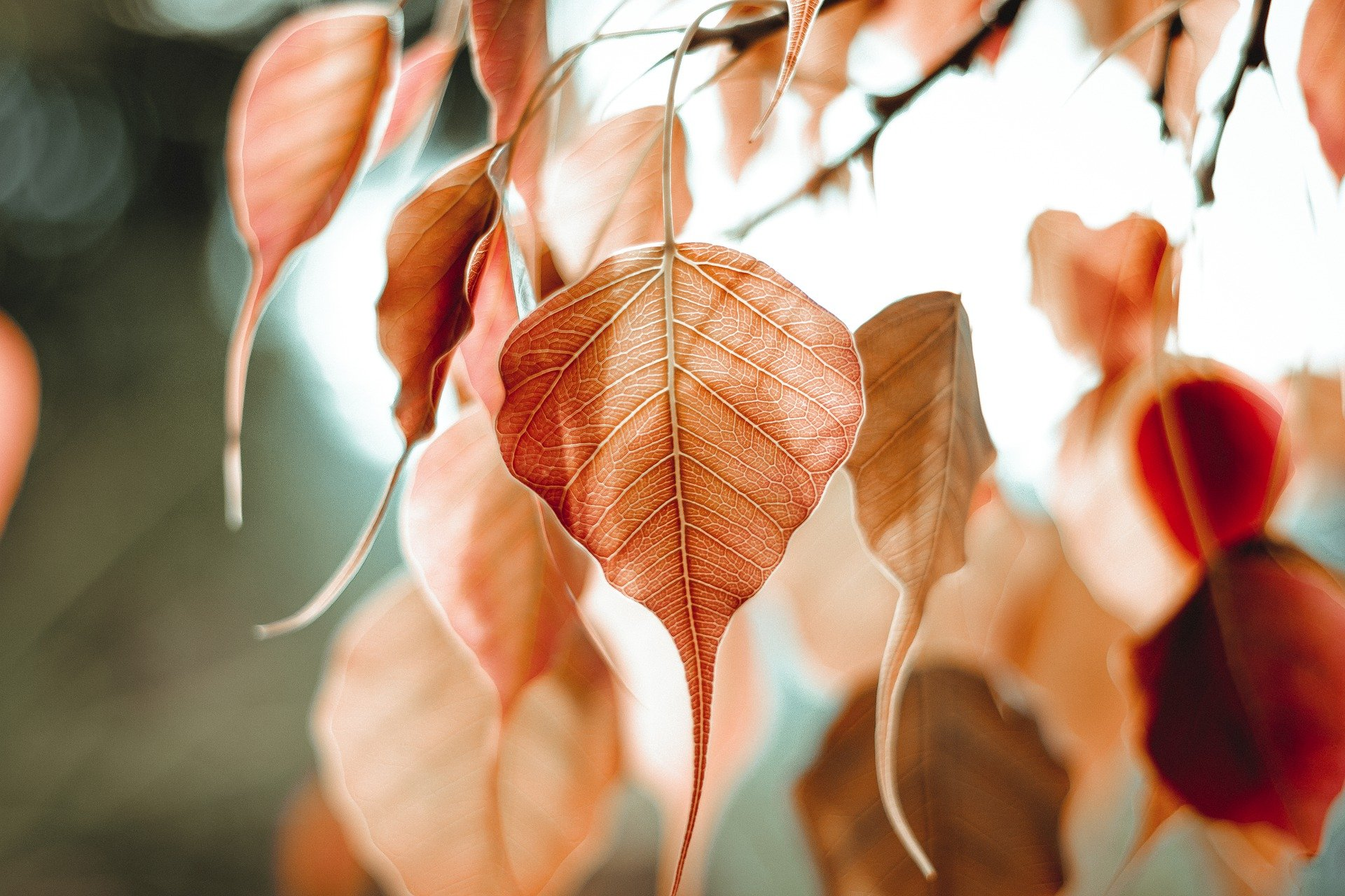 bo-leaf-5351180_1920