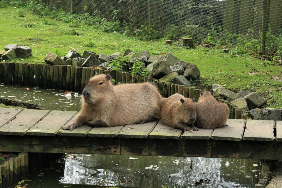 capybara-4993986_1920