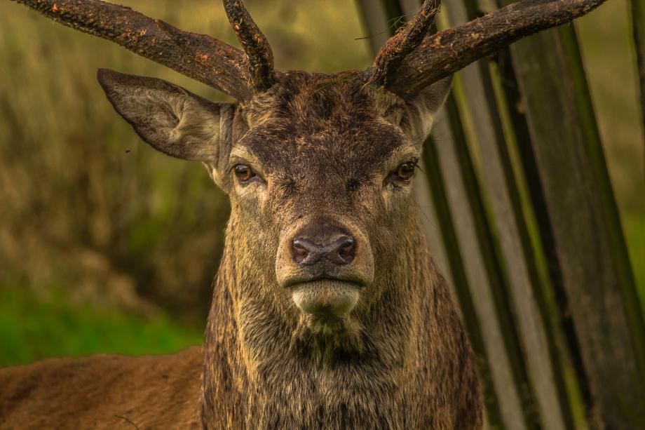 deer-952744_1920
