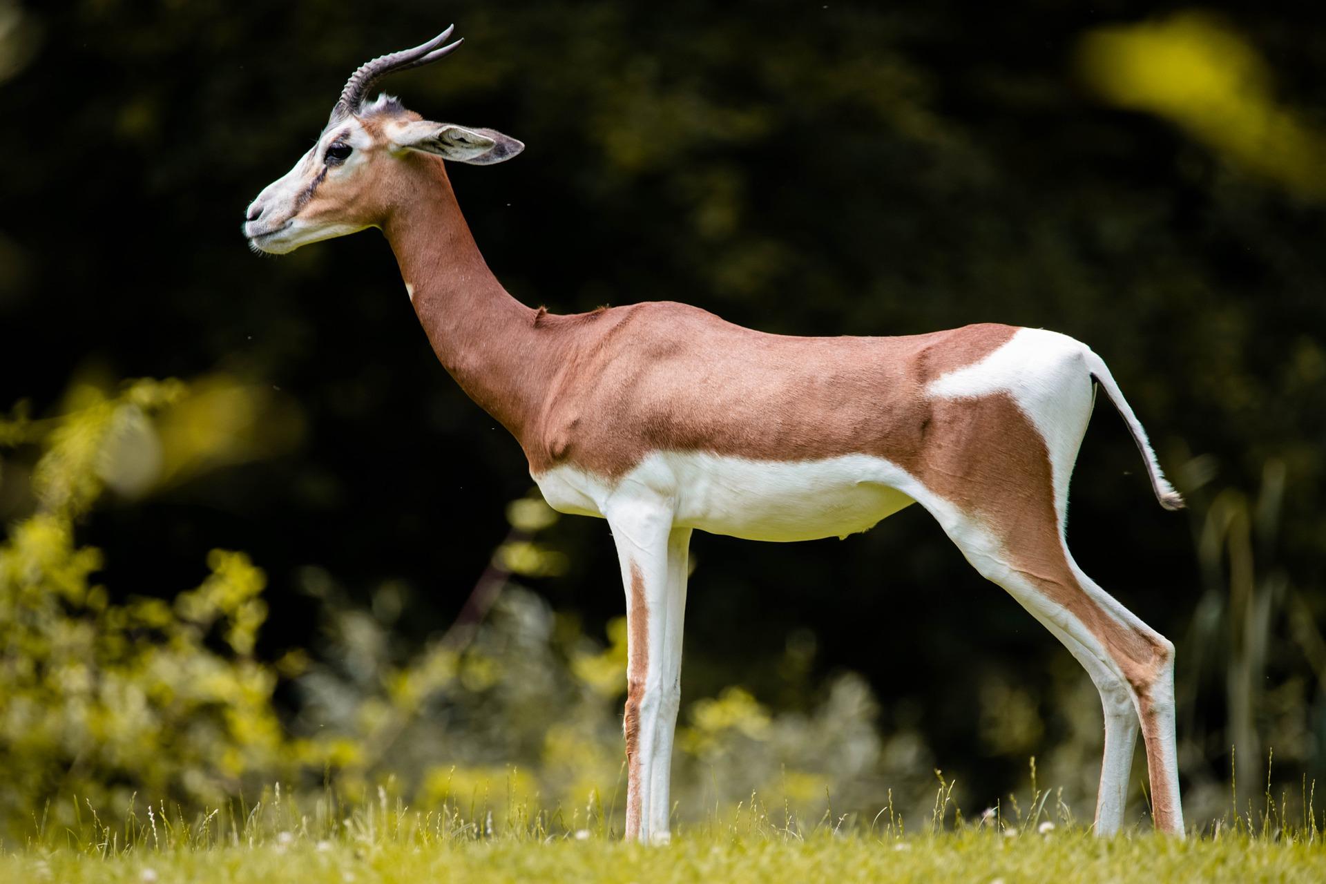 gazelle-5388128_1920