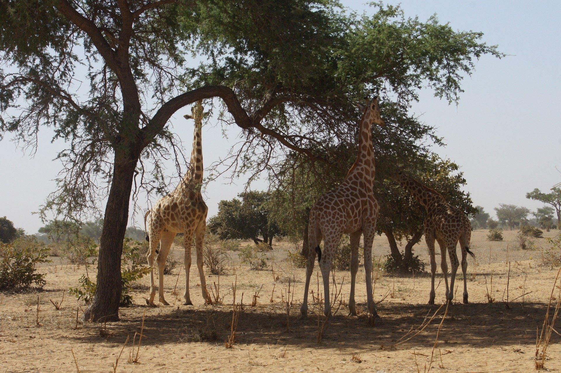 giraffes-1279140_1920