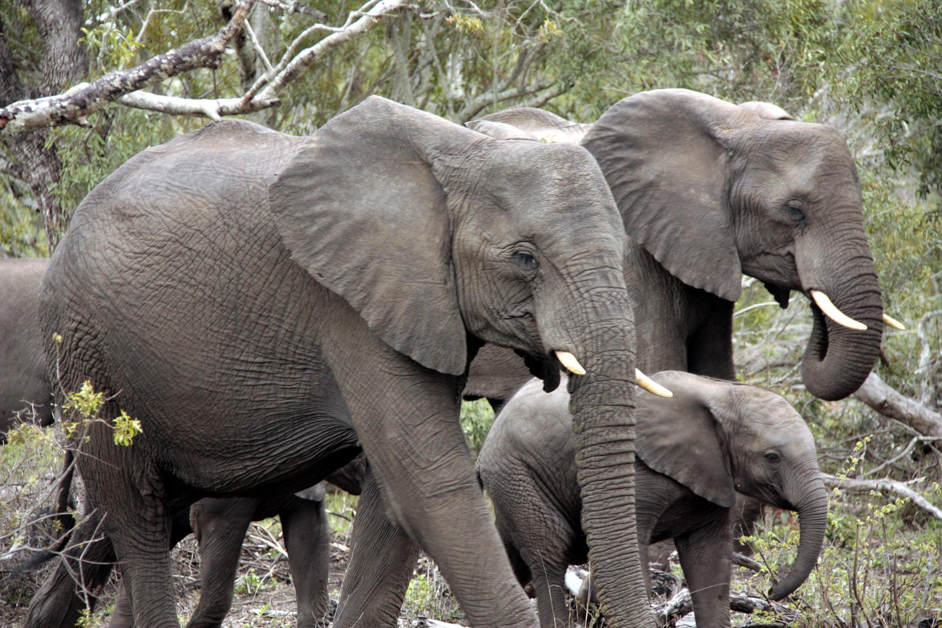 herd-of-elephants-1927515_1920