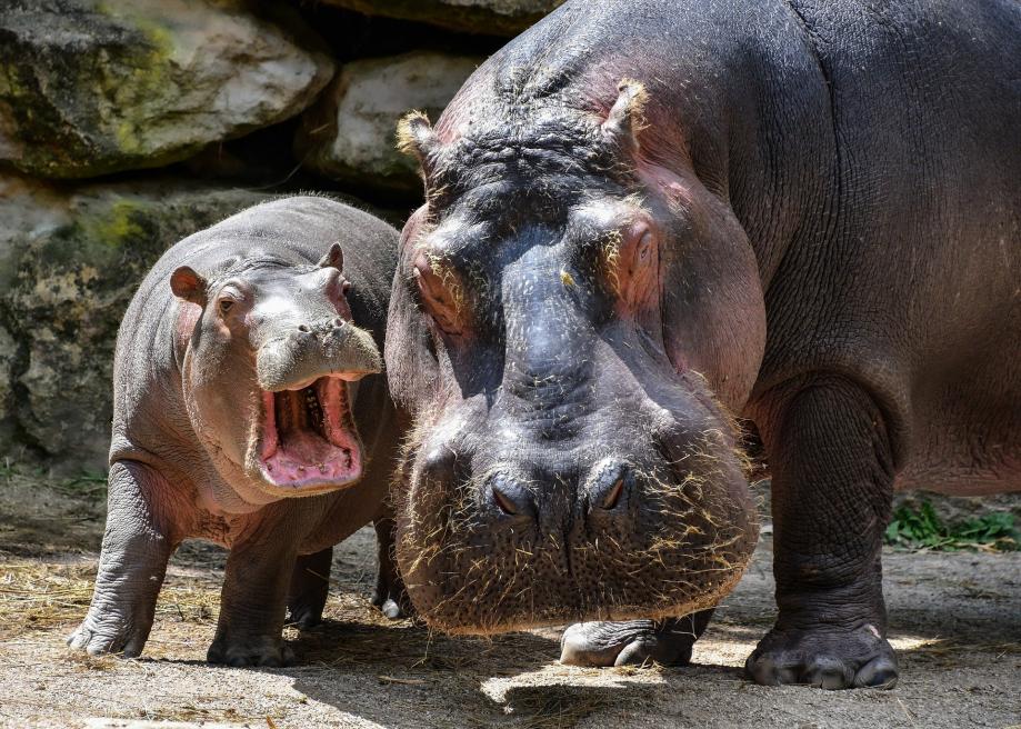 hippopotamus-5608509_1920