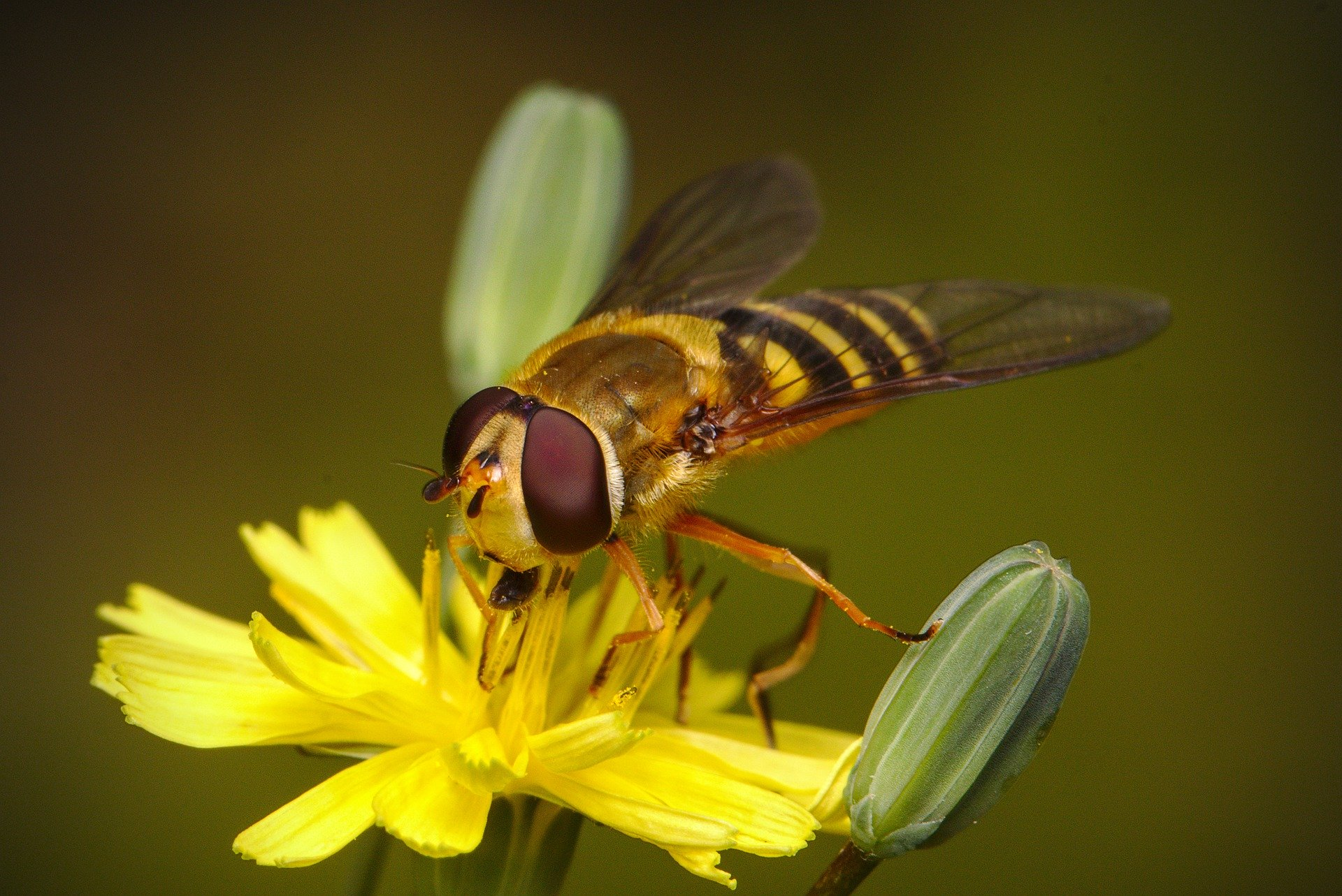 hoverfly-5321136_1920