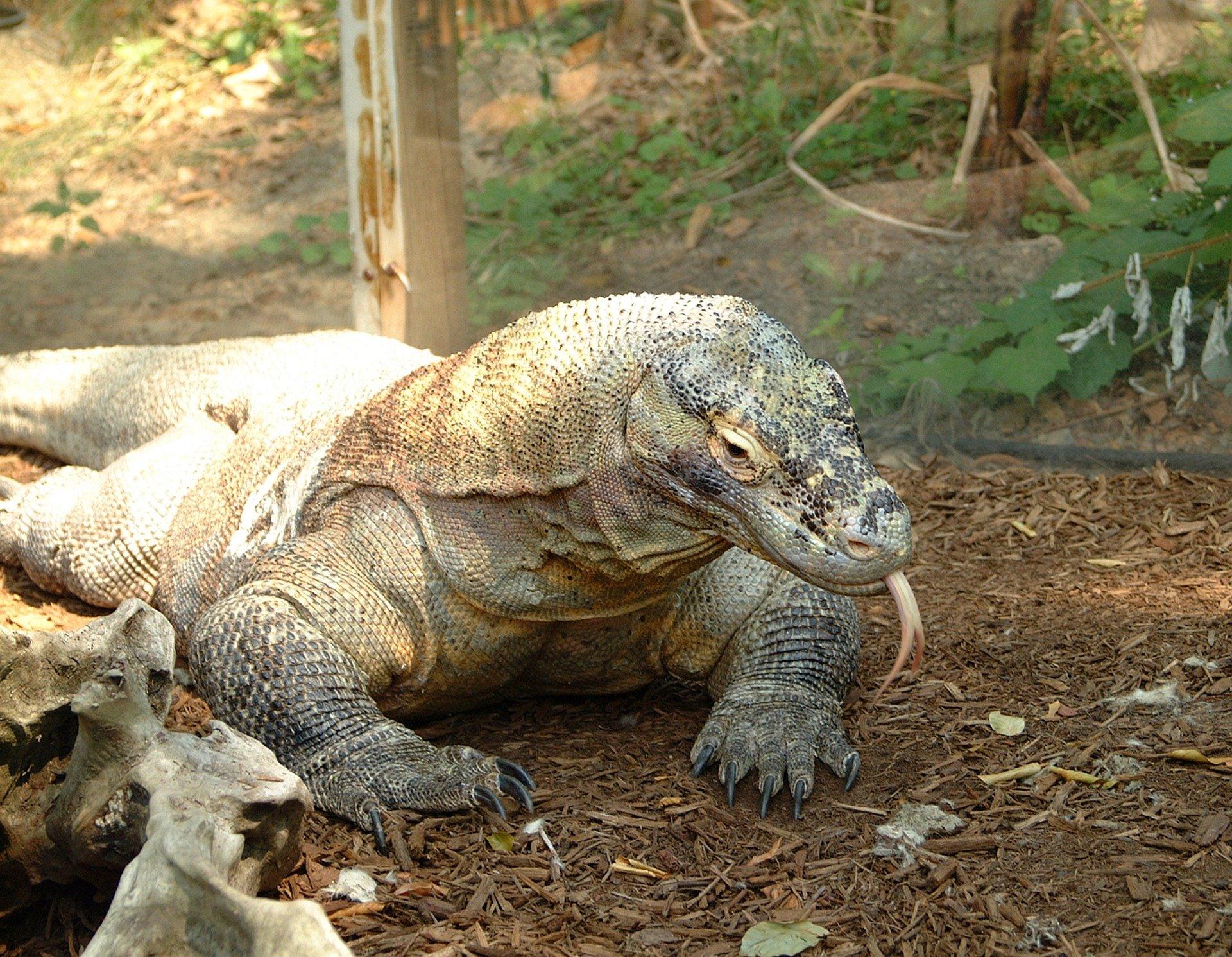komodo-dragon-1291969_1920
