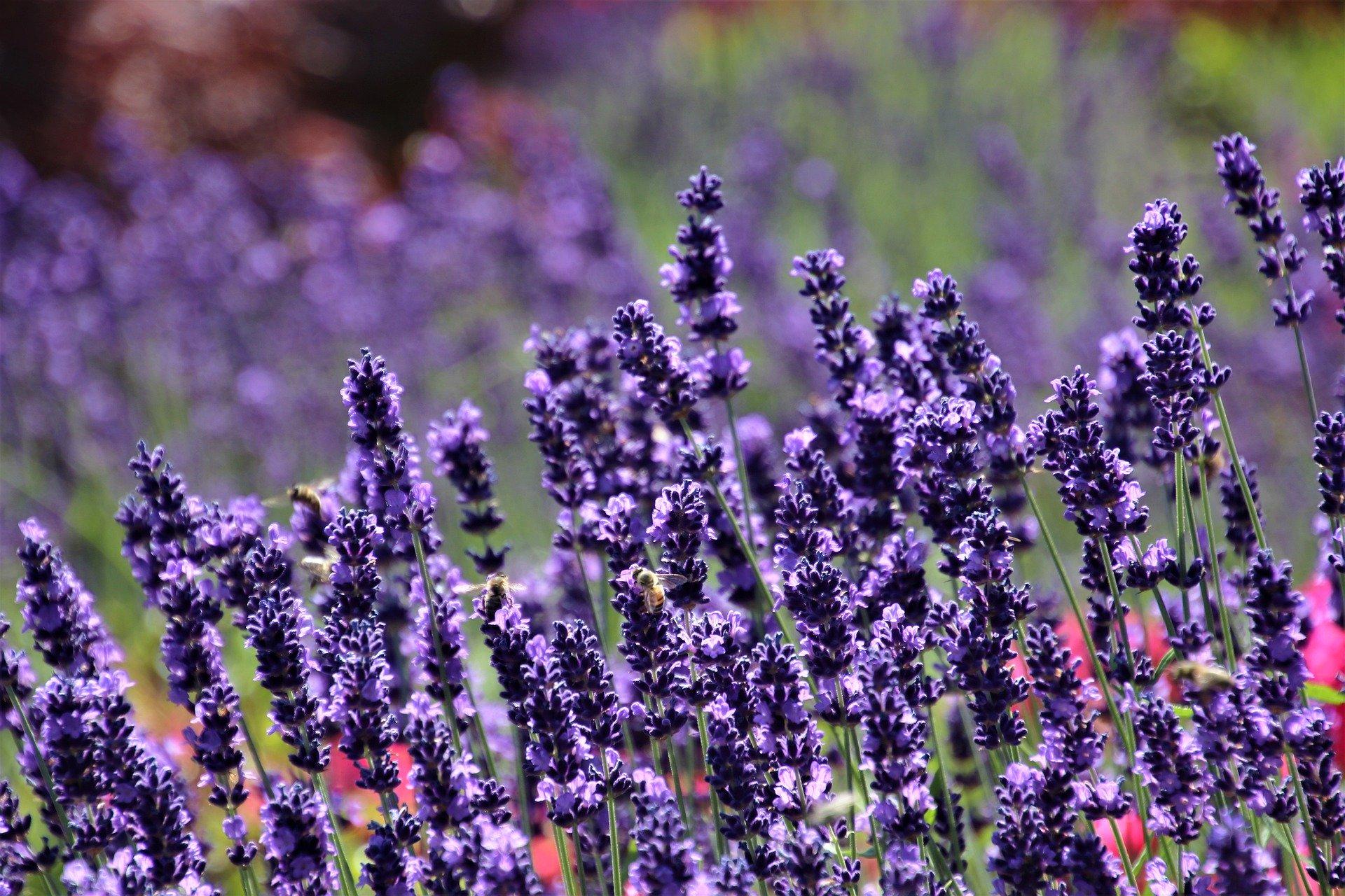 lavender-5333905_1920