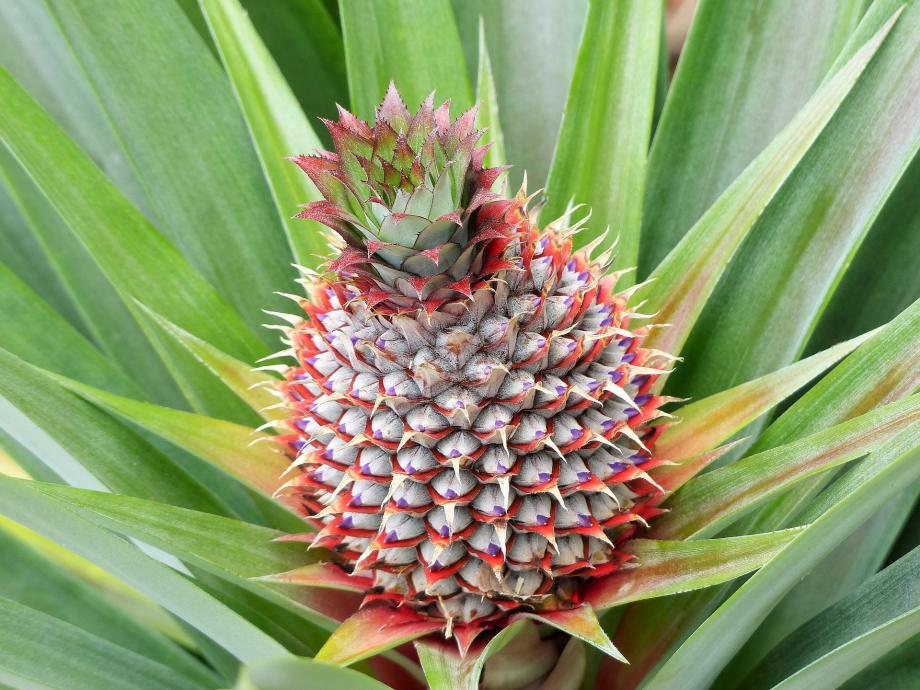 pineapple-5079786_1920