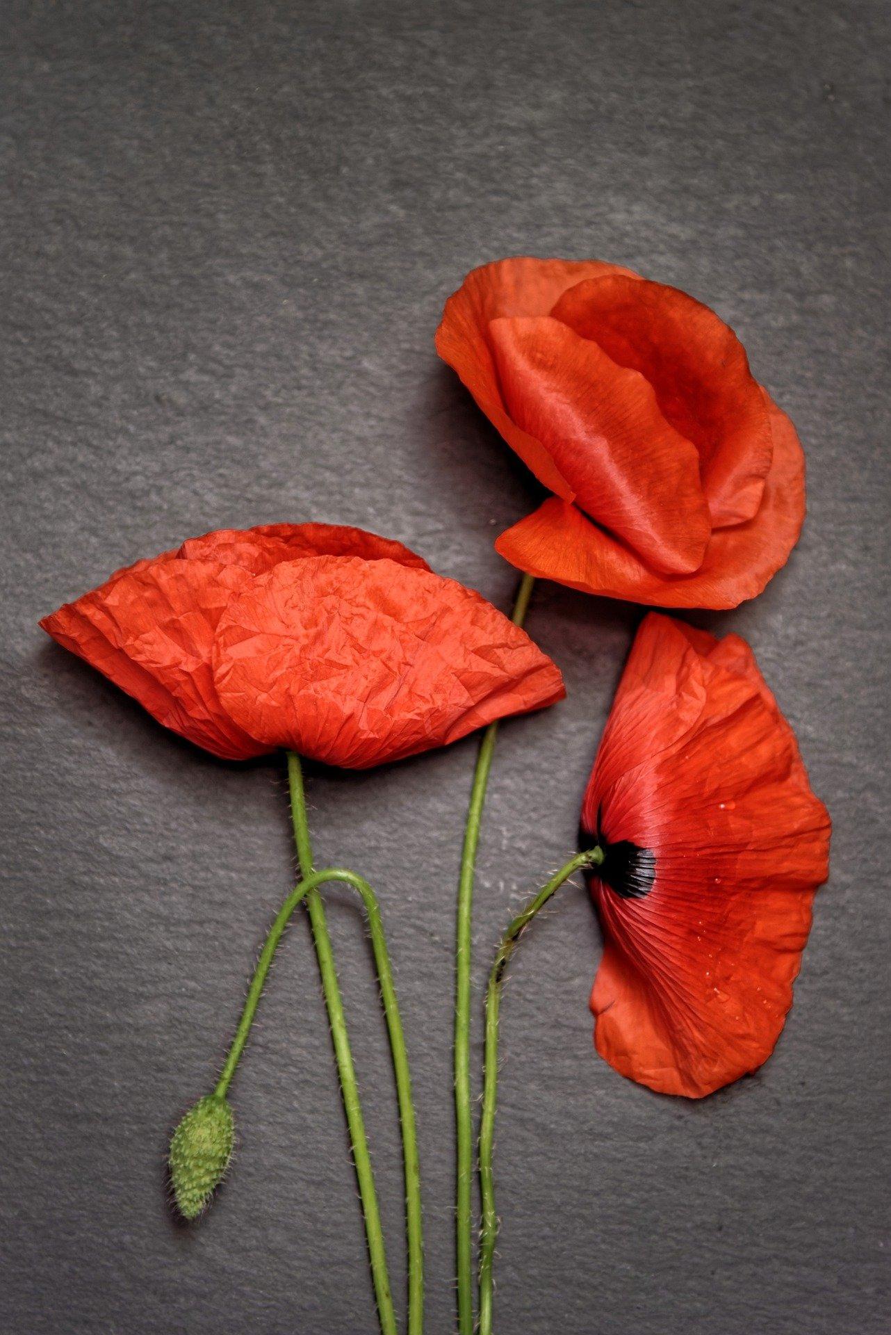 poppies-6394381_1920