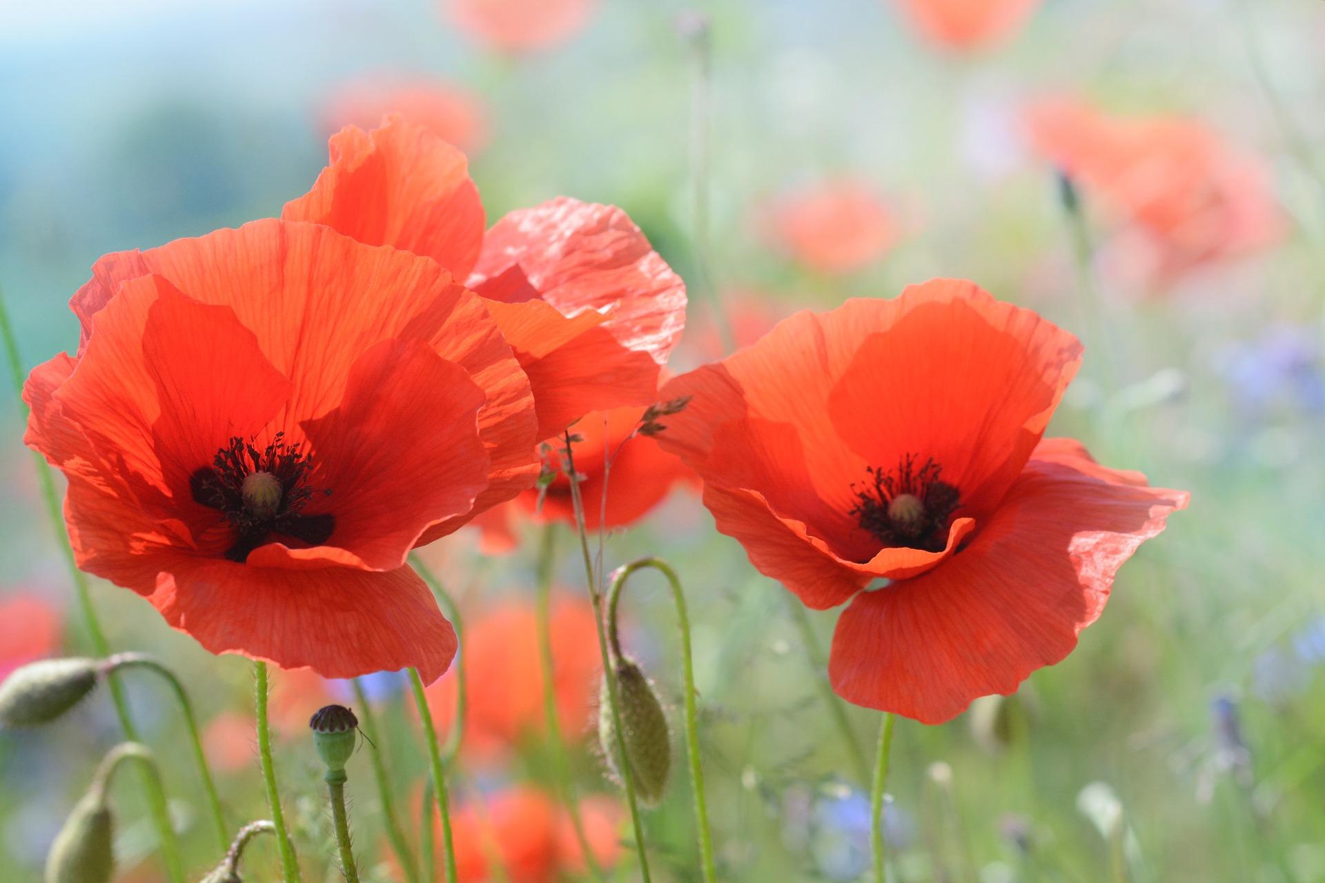 poppy-2391025_1920