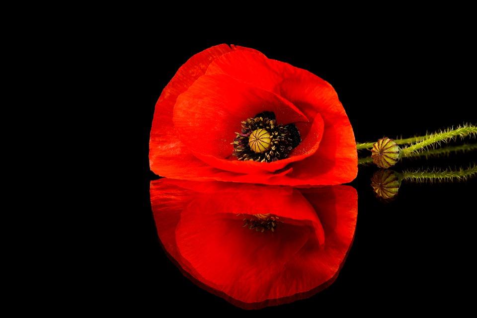 poppy-5204470_960_720