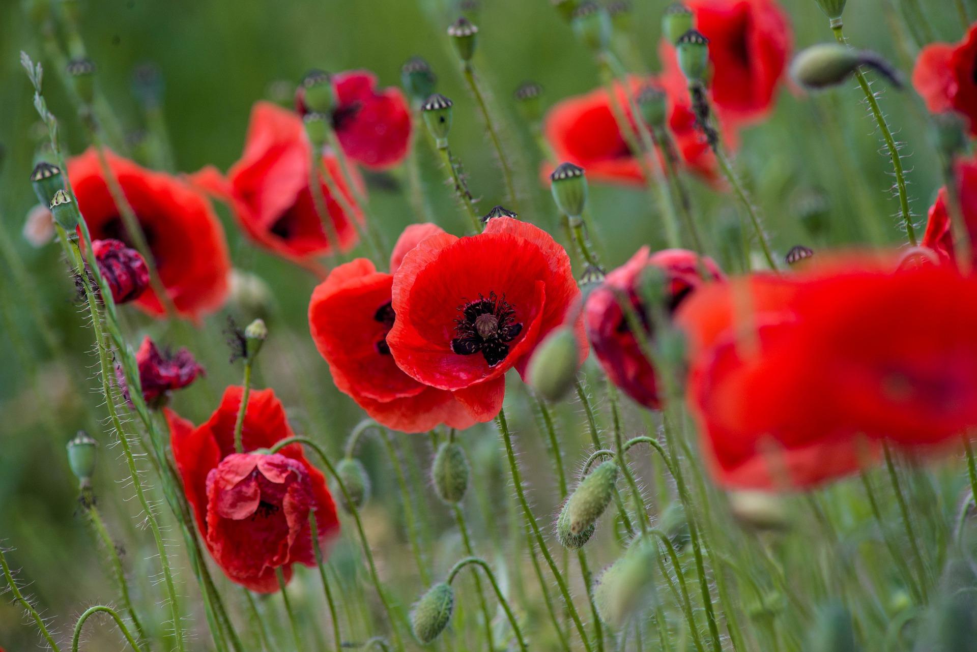 poppy-5223576_1920