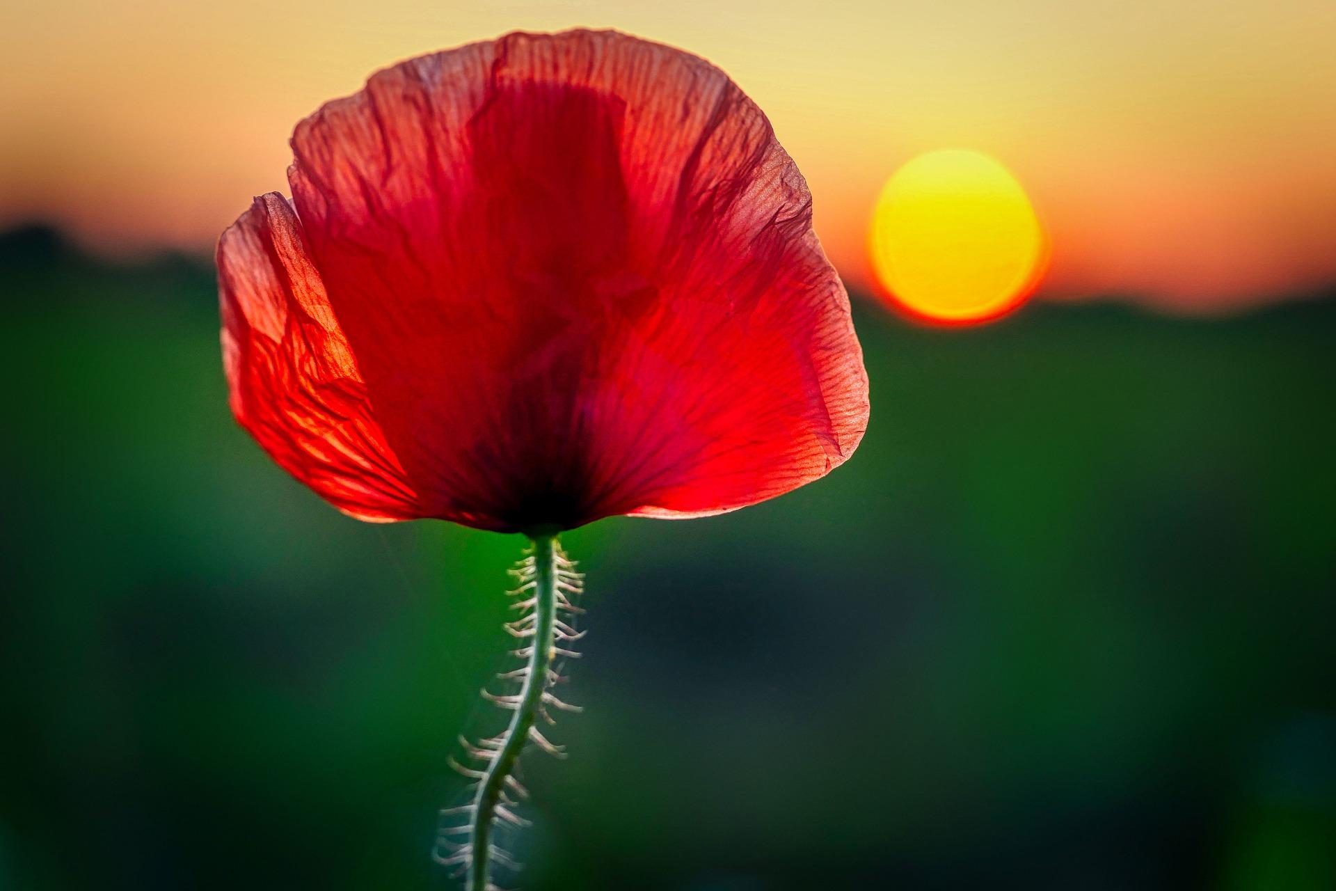 poppy-5311074_1920