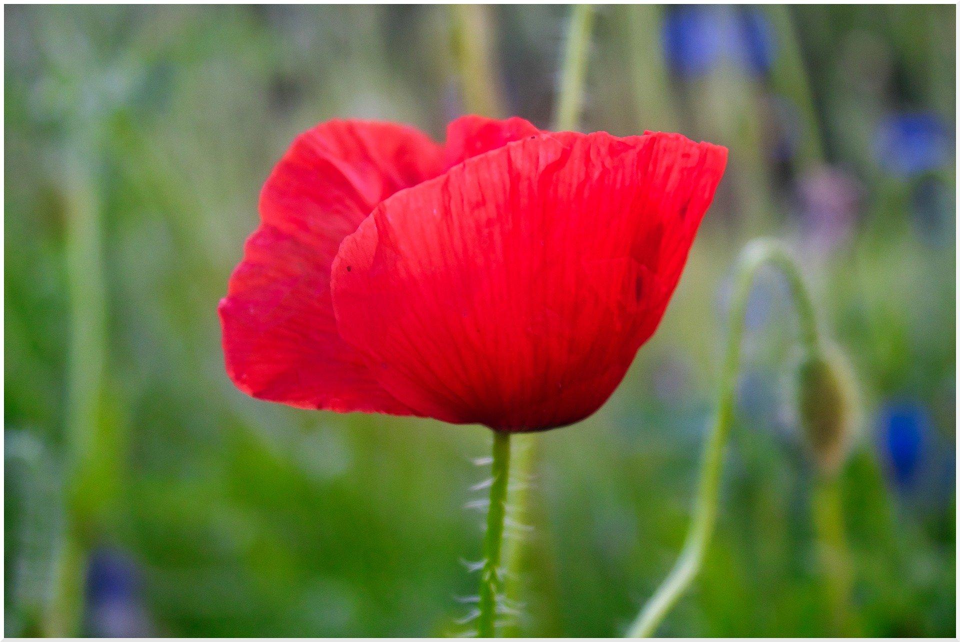 poppy-5322050_1920