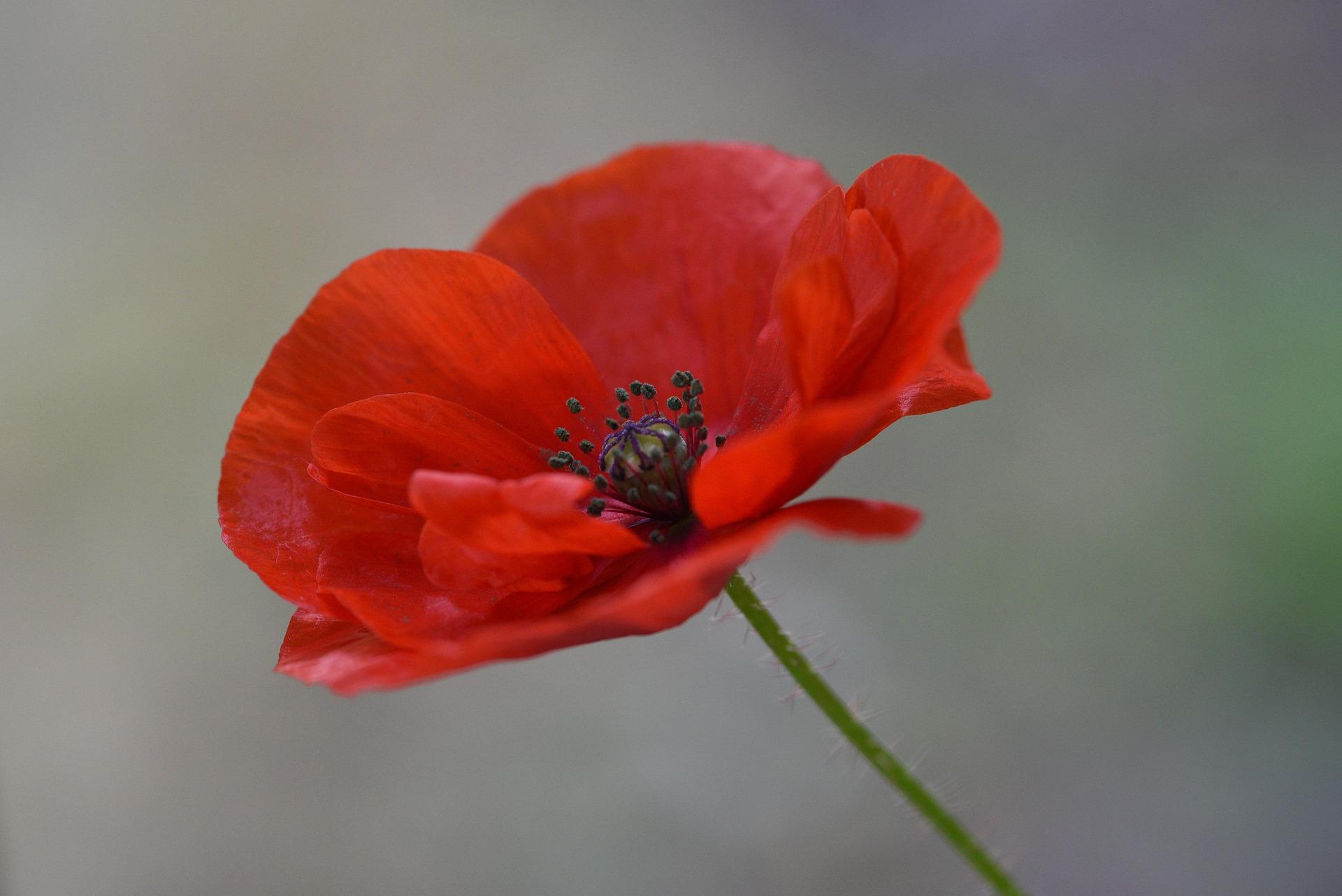 poppy-5472977_1920