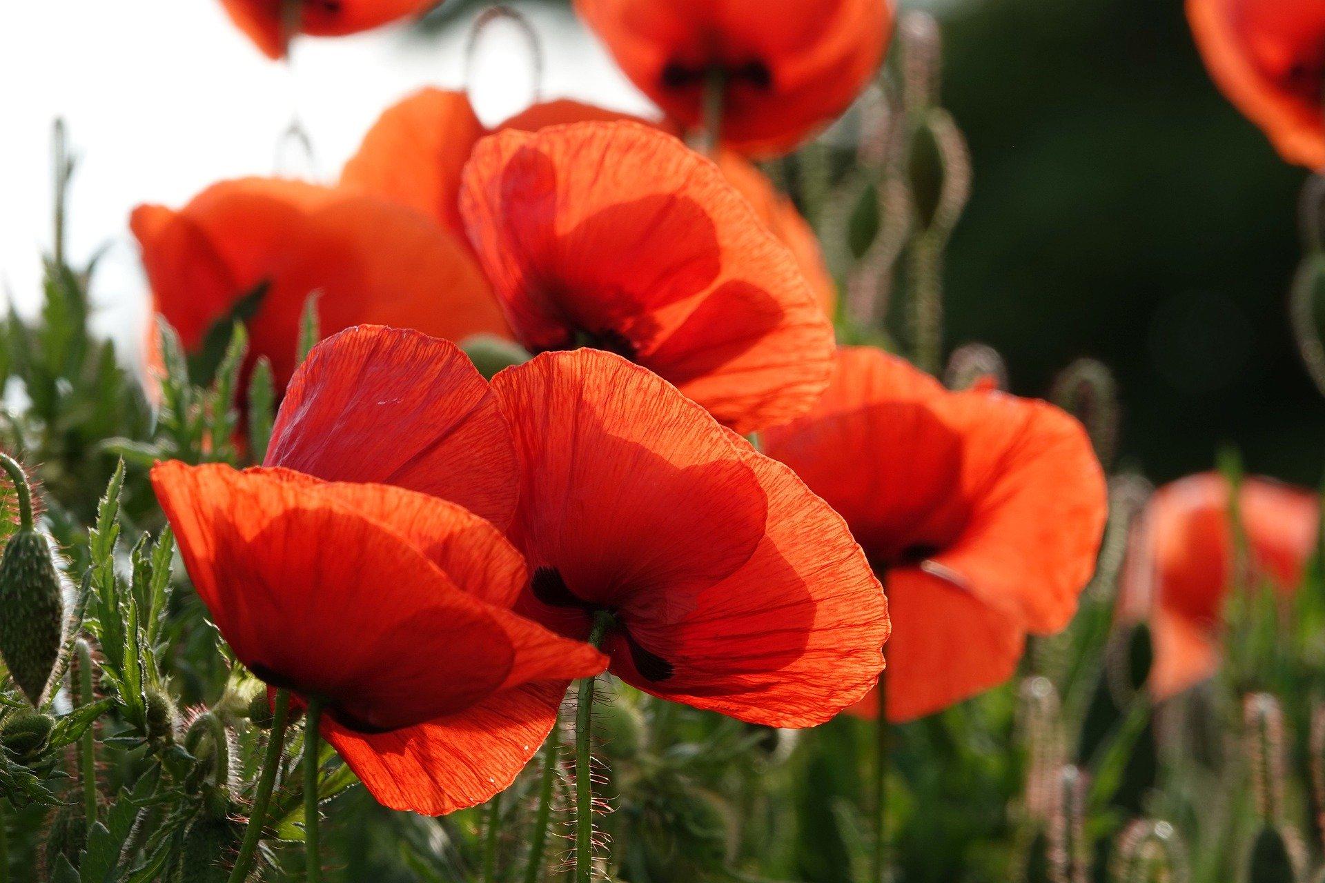 poppy-6309124_1920