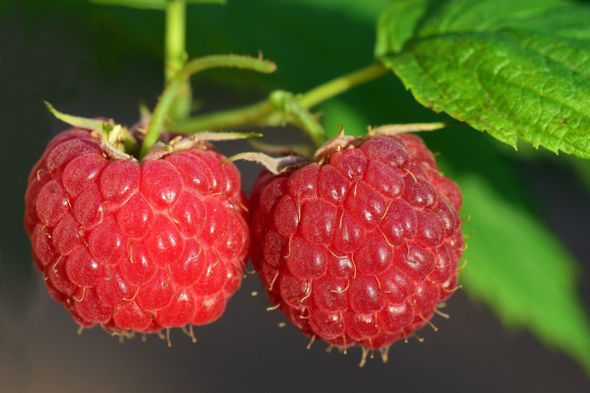 raspberries-3454504_1920