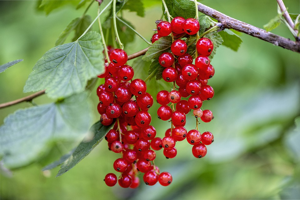 red-currant-4385121_960_720