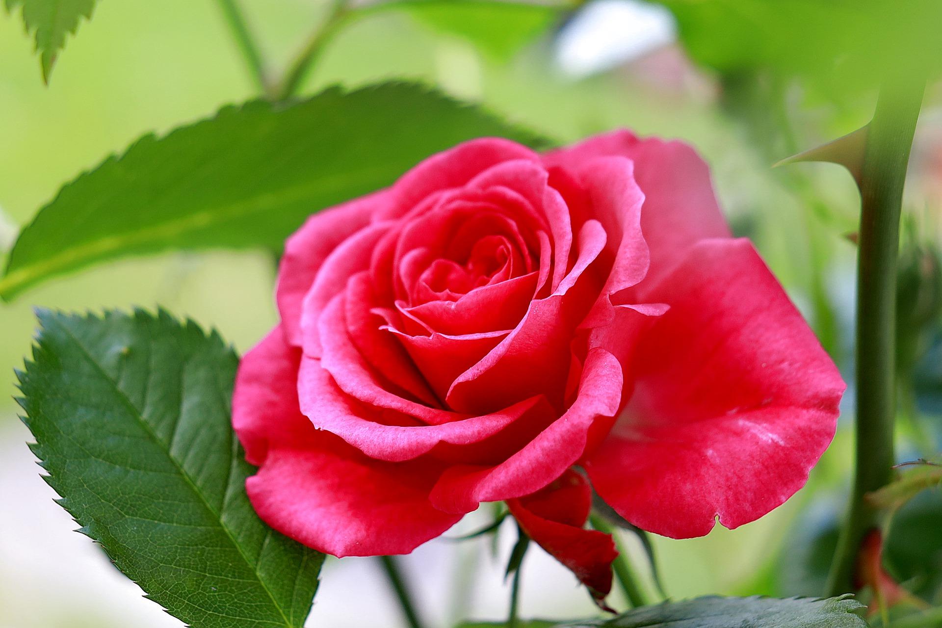 rose-5322911_1920