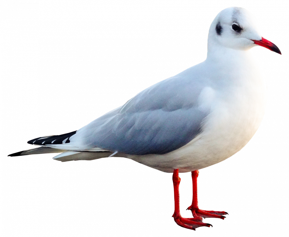 seagull-2925346_1920