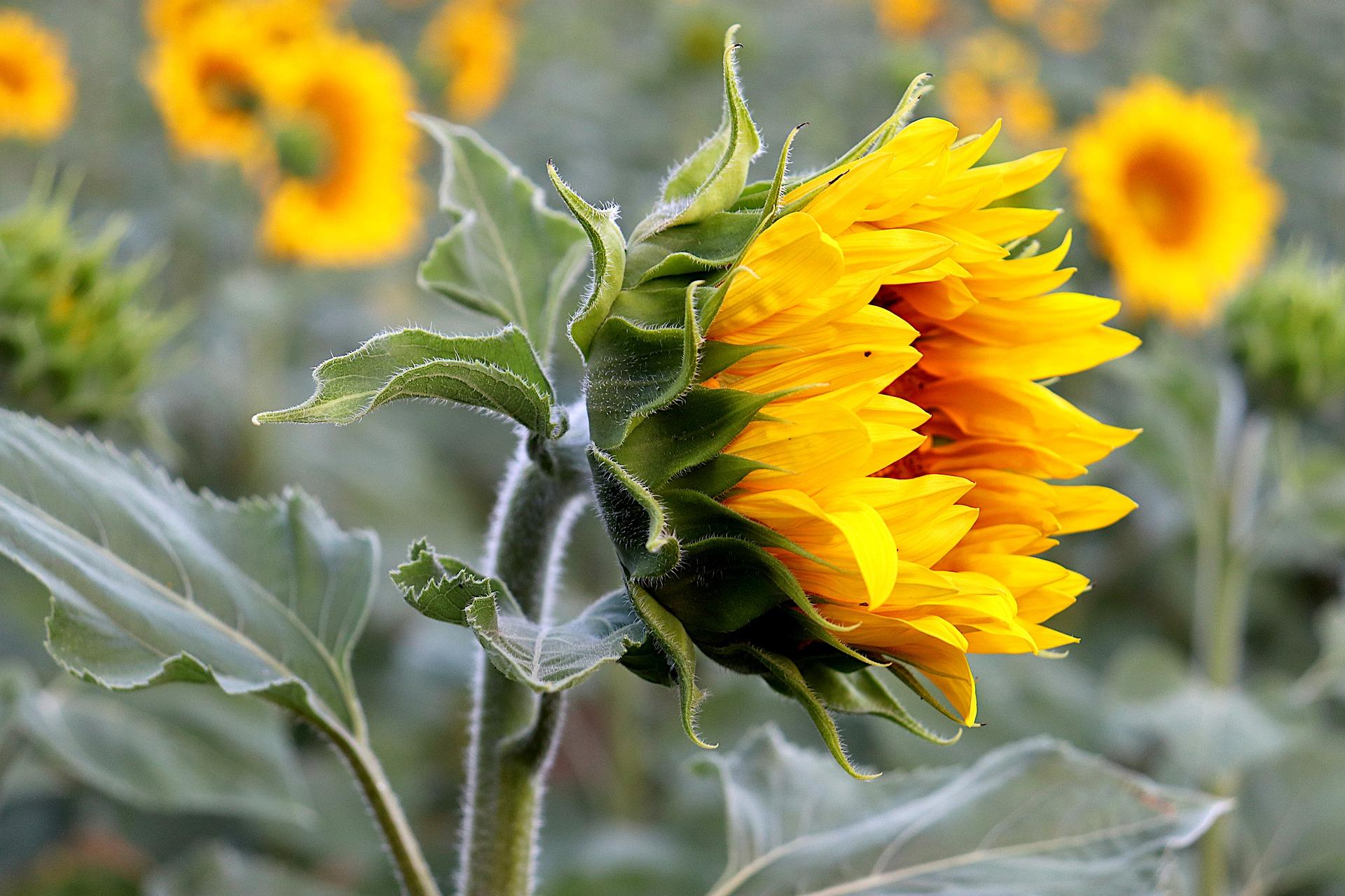 sunflower-5400912_1920