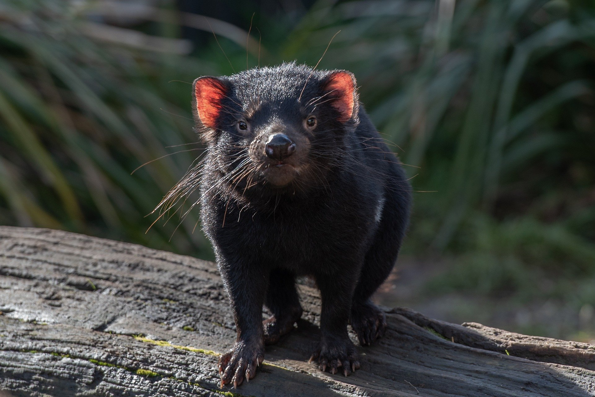 tasmanian-devil-6479685_1920