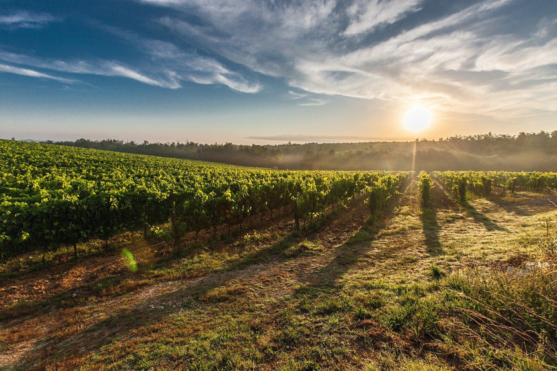 vineyard-428041_1920