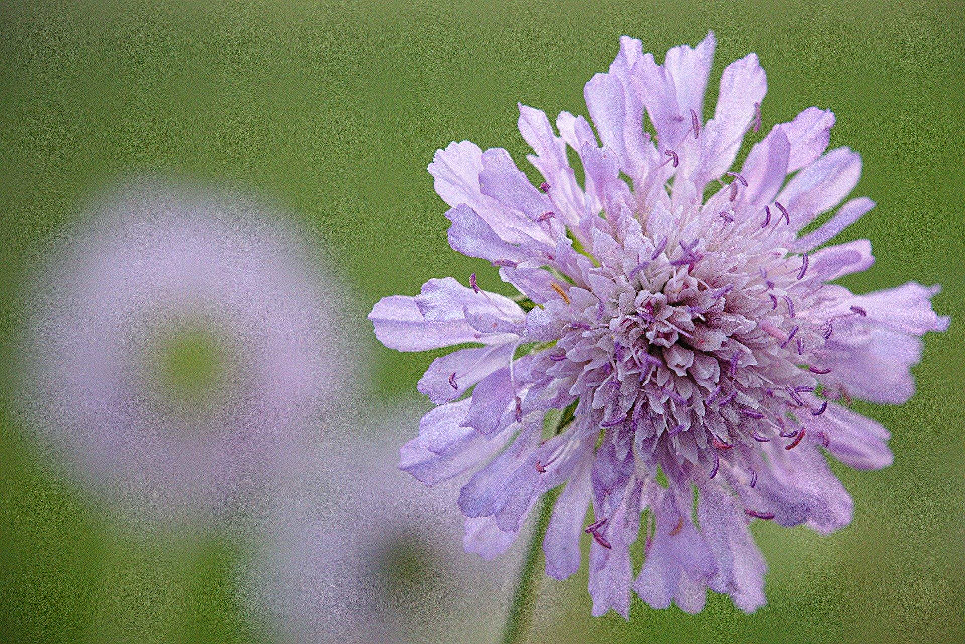 widow-flower-5181497_1920