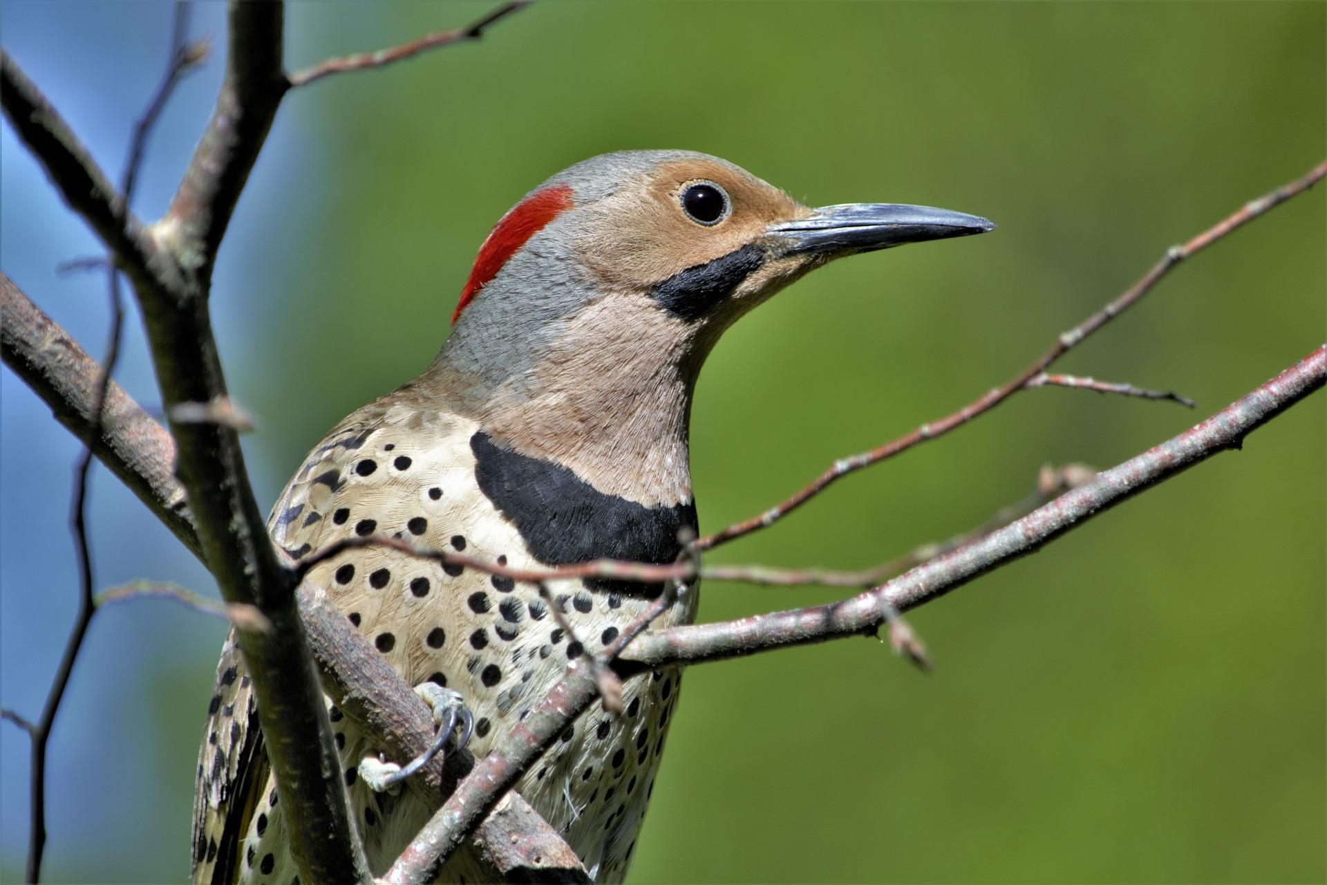woodpecker-5249109_1920