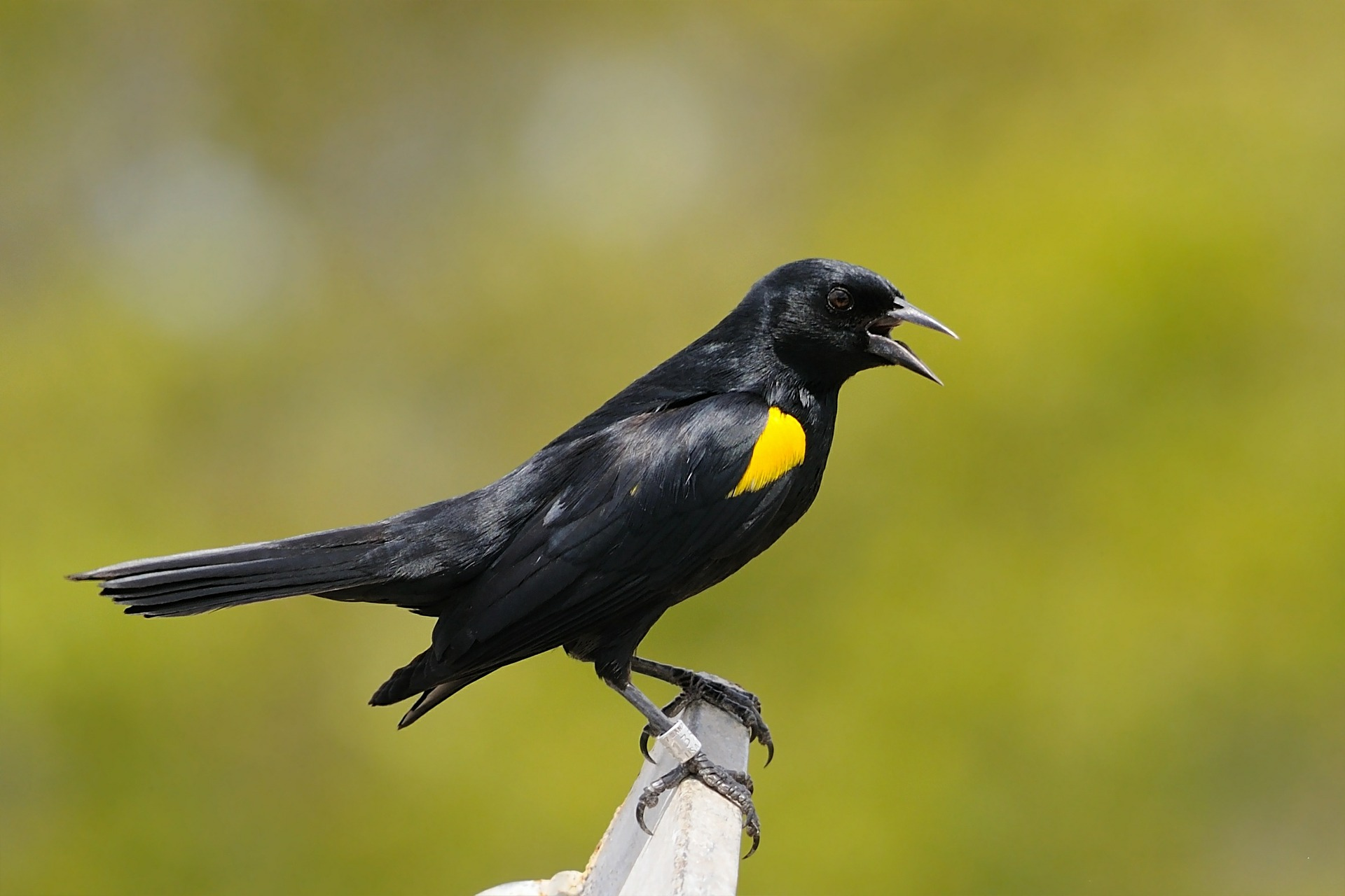 yellow-shouldered-blackbird-541343_1920
