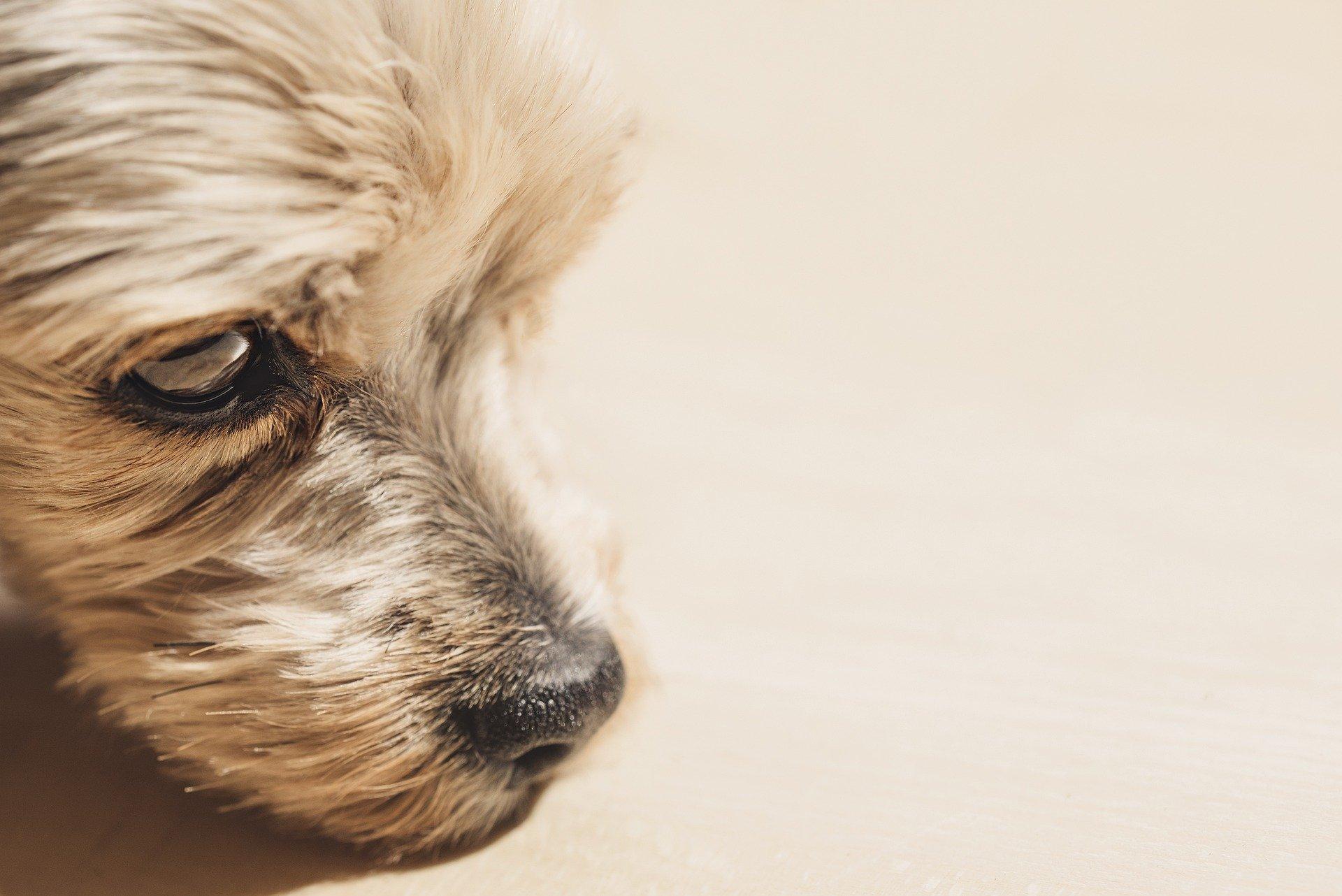 yorkshire-terrier-6202621_1920
