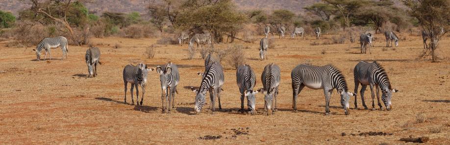zebra-2668655_1920
