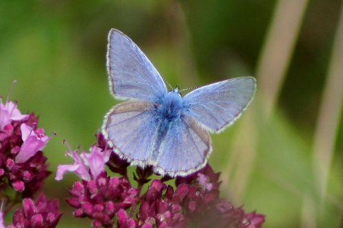 L'argus bleu  (Méneslies le 25/07/11)