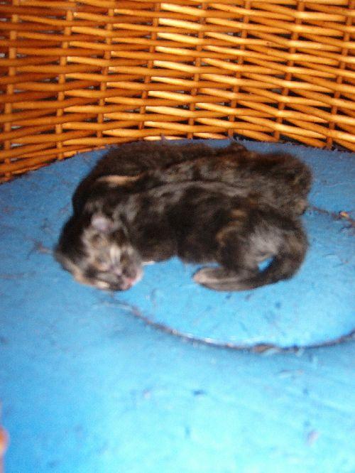 Les 3 chatons 15 heures après leur naissance