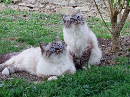 Furio et Cacharel 2 beaux seal tabby!!!