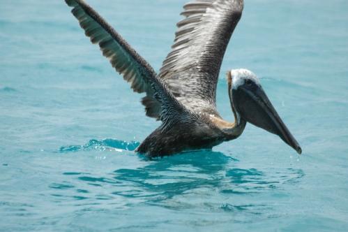 pelican-barbudas-1.JPG