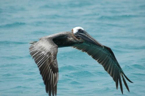 pelican-barbudas-2.JPG